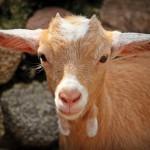 goat-1438254_1280