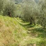 olive-grove-1620280_1280