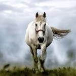 white-horse-1136093_1280-2